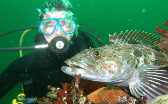 lingcod and diver